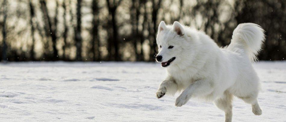белый самоед бежит по снегу