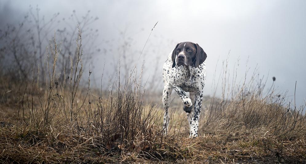 Характеристика собак породы курцхаар