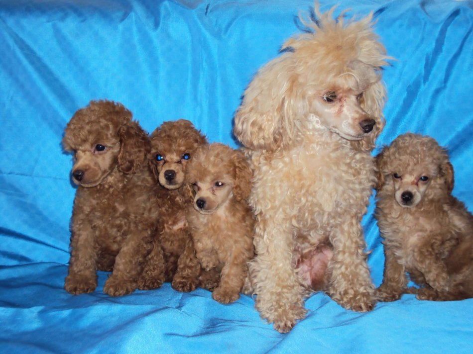 пудель со щенками на голубом фоне фото