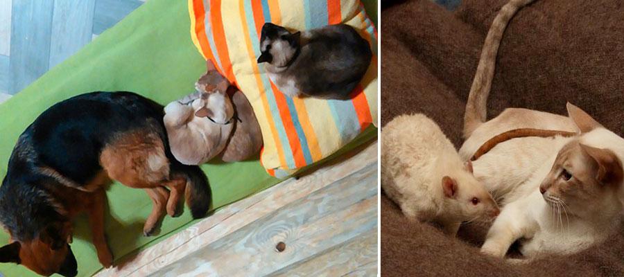 Сиамские кошки и другие животные