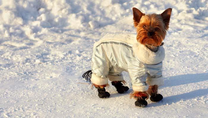 Нужно ли одевать собаку