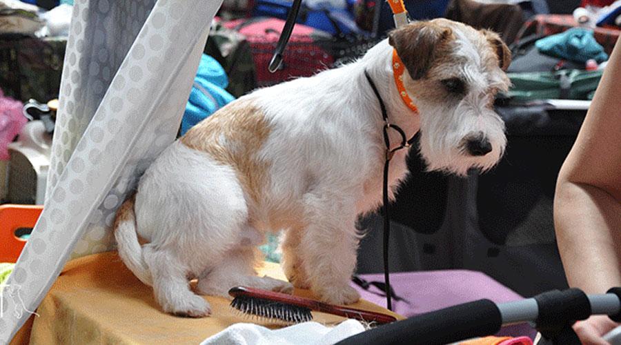груминг выставочной собаки