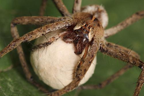 бродячий паук