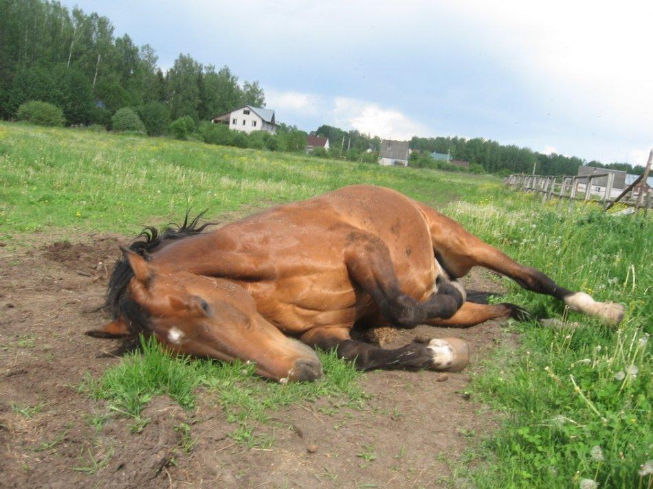 Лошадь валяется фото