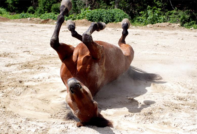 Колики у лошадей. Химостаз