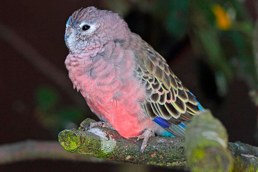 розовобрюхий стравяной попугайчик сидит на дереве