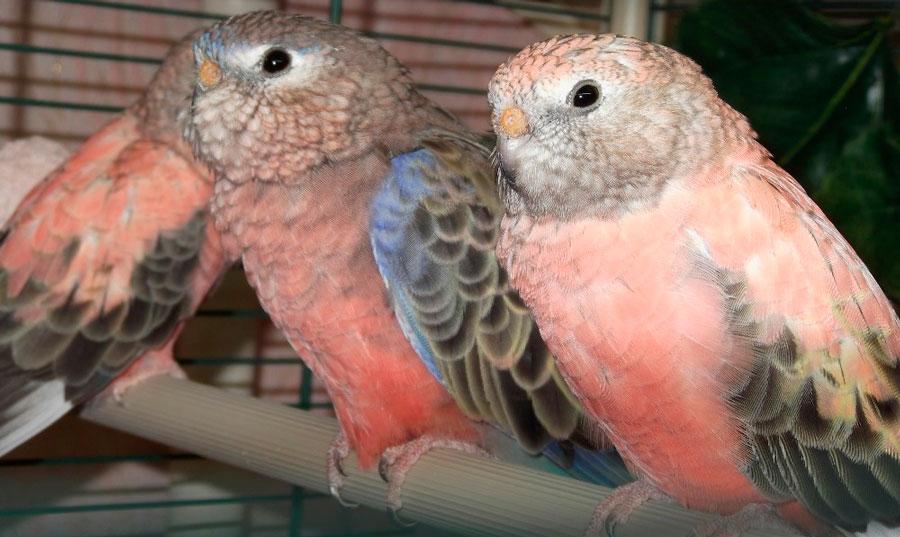 пара роовобрхих попугайчиков в вклетке