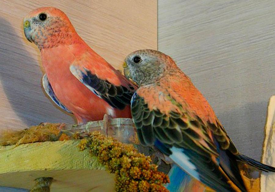 роовобрюхие попугайчики с кормом