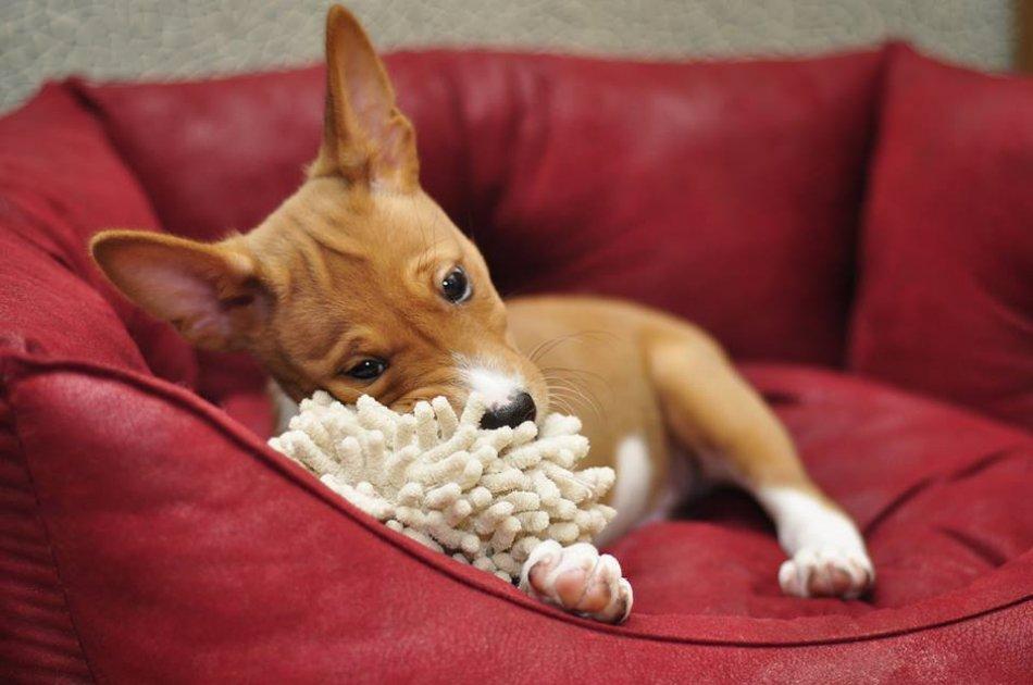 Рыжий щенок басенджи фото