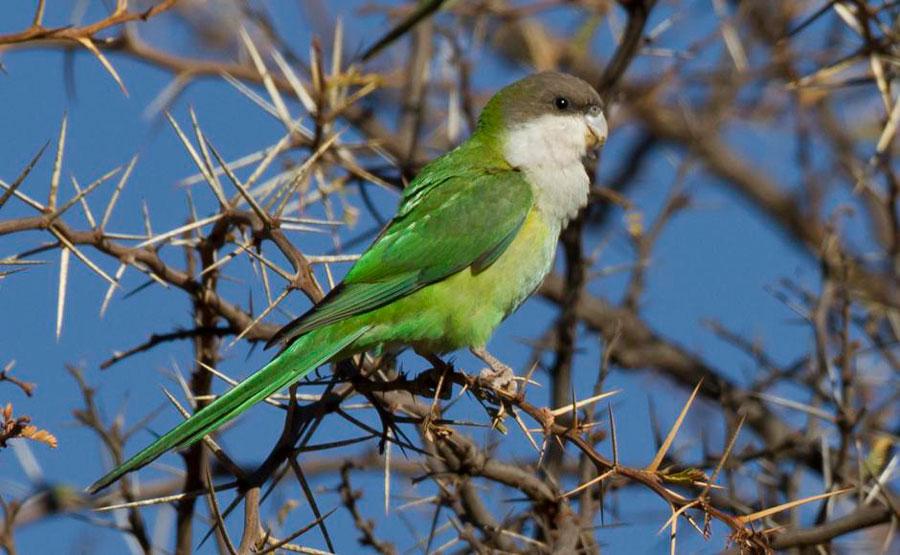 бурошапочный попугай в дикой природе