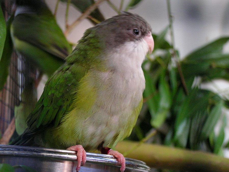 Бурошапочный толстоклювый попугай