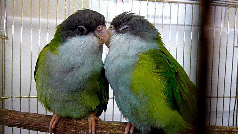 парочка бурошапочных попугаев в клетке