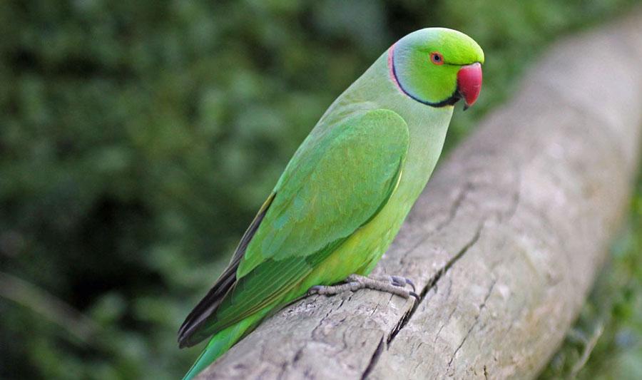 ожереловый попугай крамера в дикой природе