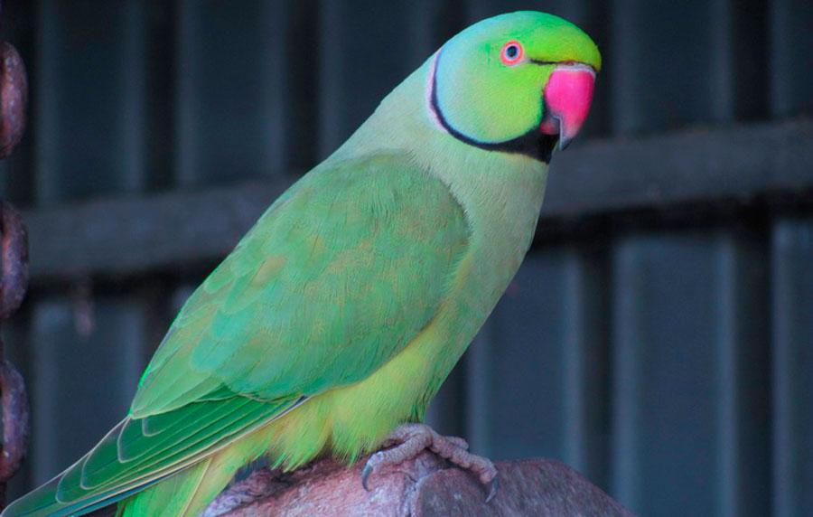 ожереловй попугай крамера в неволе