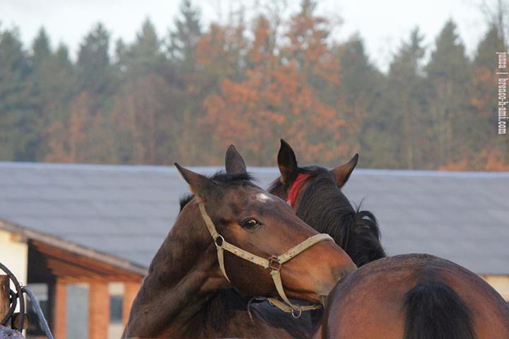 Лошади чешут друг друга