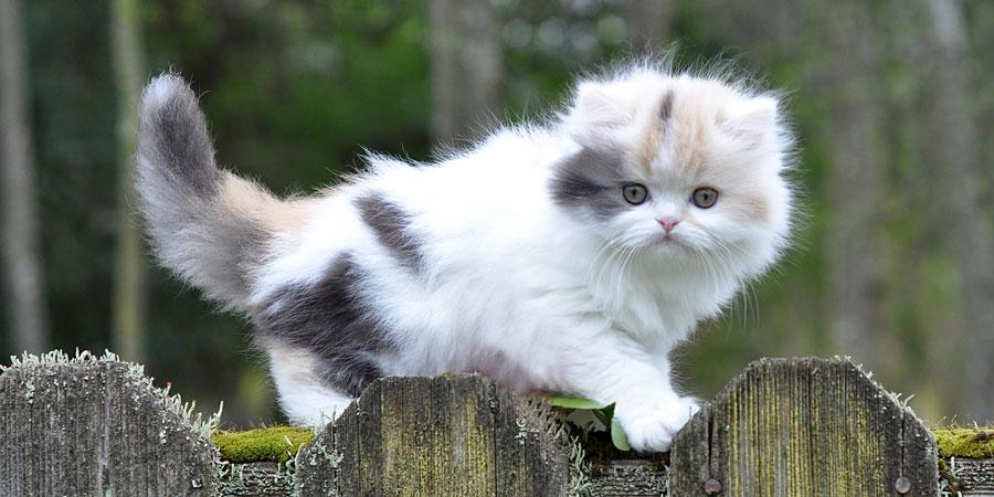 котенок породы манчкин фото