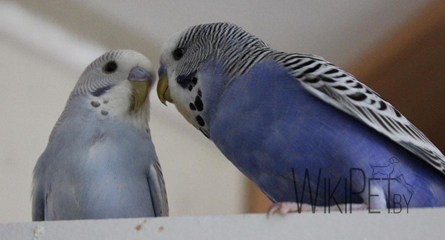 два волнистых попугачина сидят на клетке