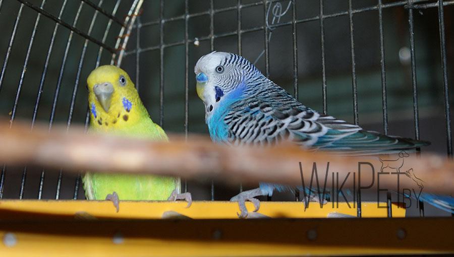 два волнистых попугайчика в клетке