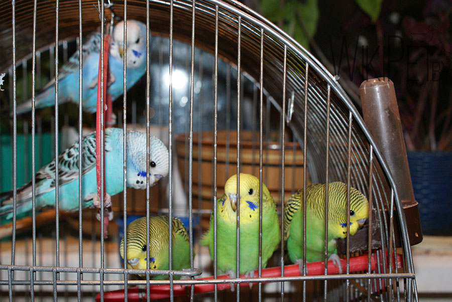 клетка с волнистфми попугайчиками