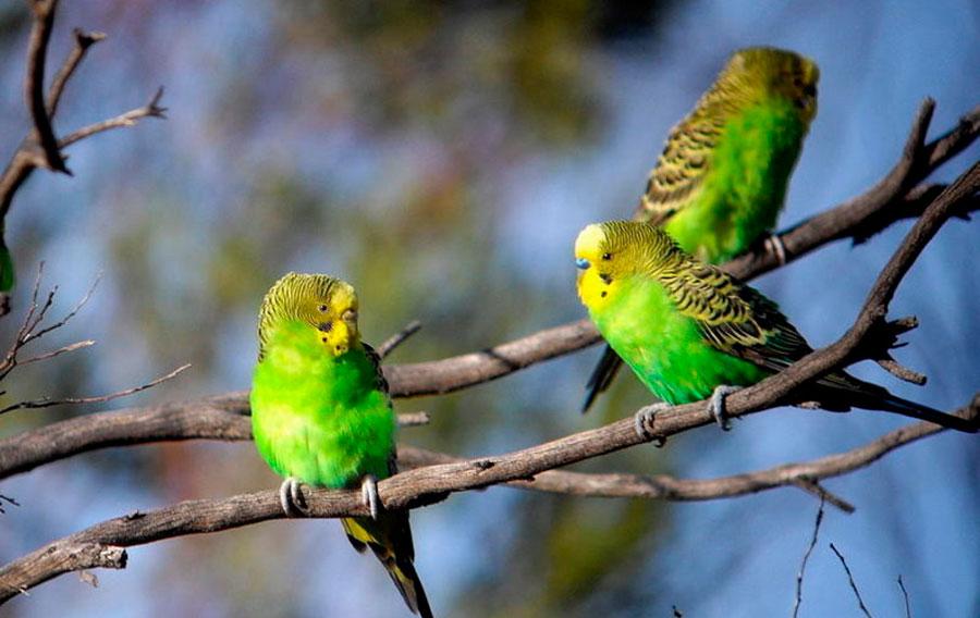 волнистие попугайчики в дикой природе