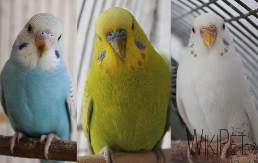 три волнистых попугайчика разного цвета