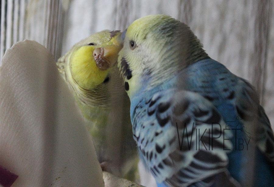волнистые попугайчики целуются