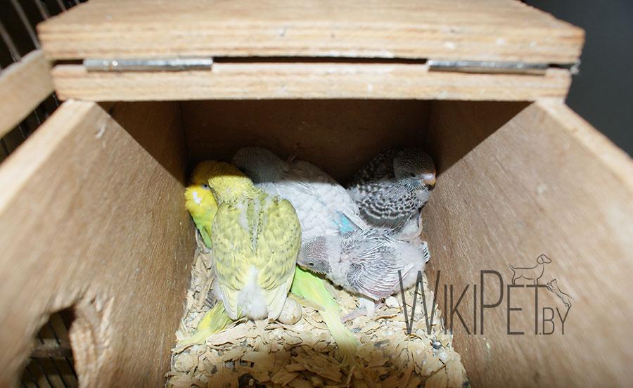 попугайчики в домике для разведения