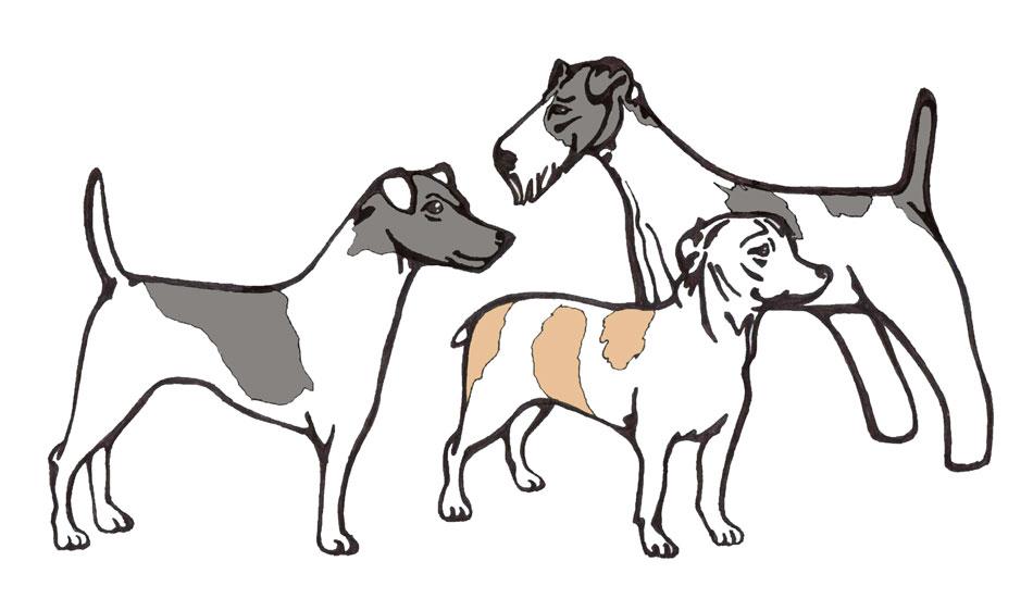 Гладкошерстный фокстерьер: фото и описание породы собак