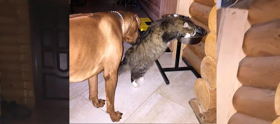 родезийский риджбек и кошка едят с одной миски