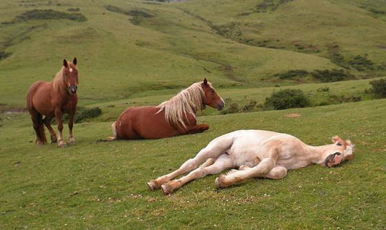 Лошади спят в табуне