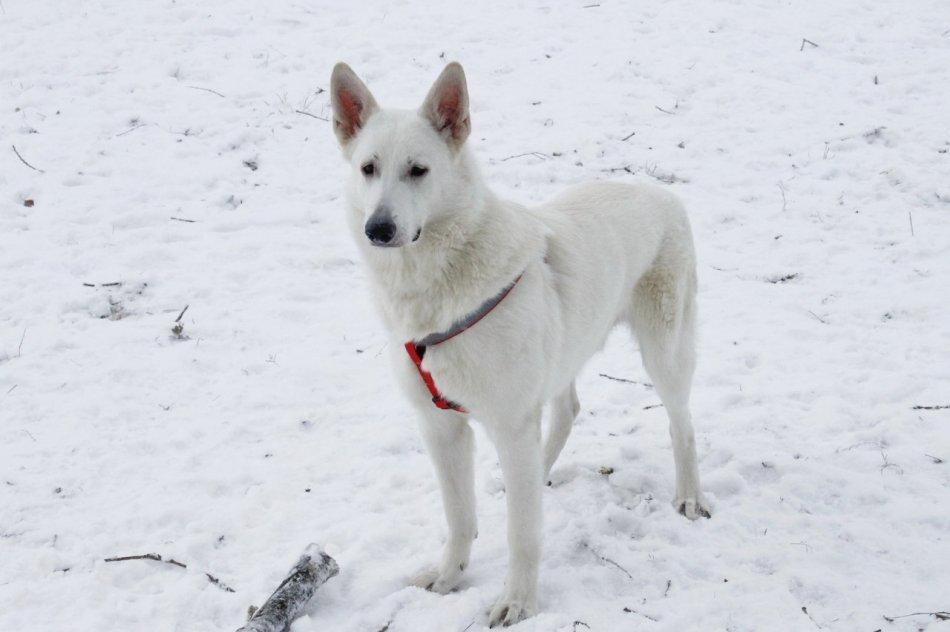 Белая швейцарская овчарка зимой