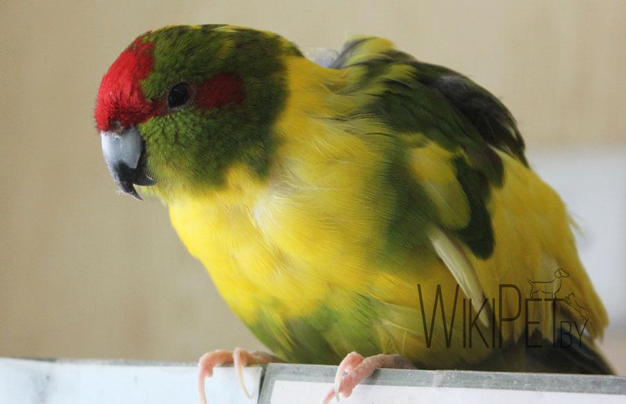 краснолобый прыгающий попугай на жердочке