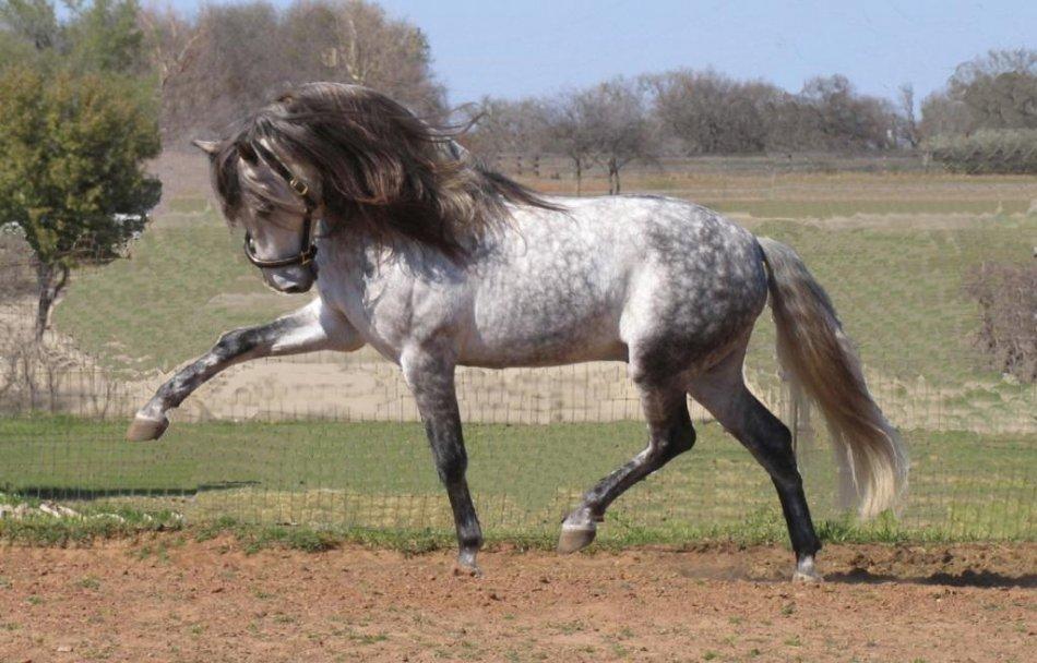 Серая андалузская лошадь