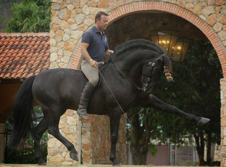 Вороная андалузская лошадь