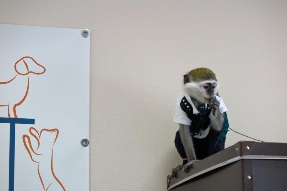 Зеленая карликовая мартышка фото
