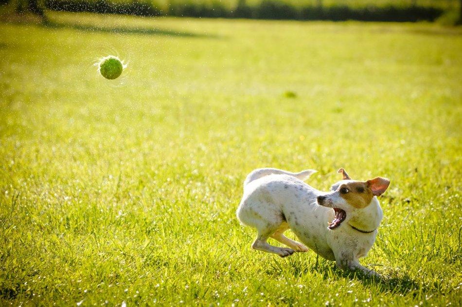 Как быстро накачать мышцы собаки