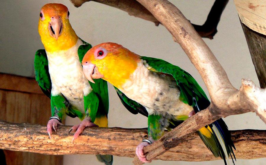 два белобрюхих рыжеголовых попугая на жердочке