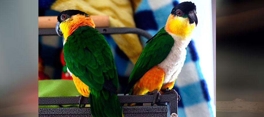 два белобрюхтх чероголовых попугая
