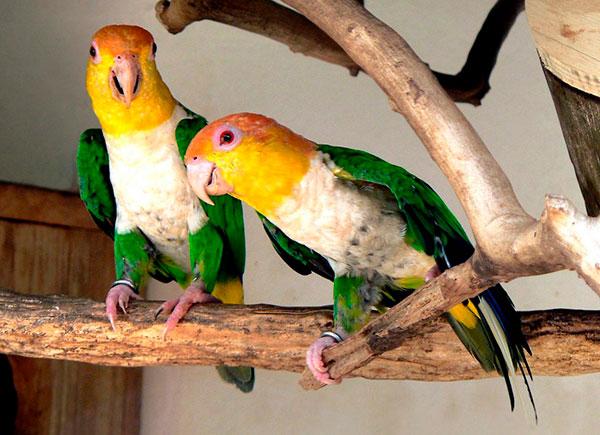 Белобрюхие попугаи