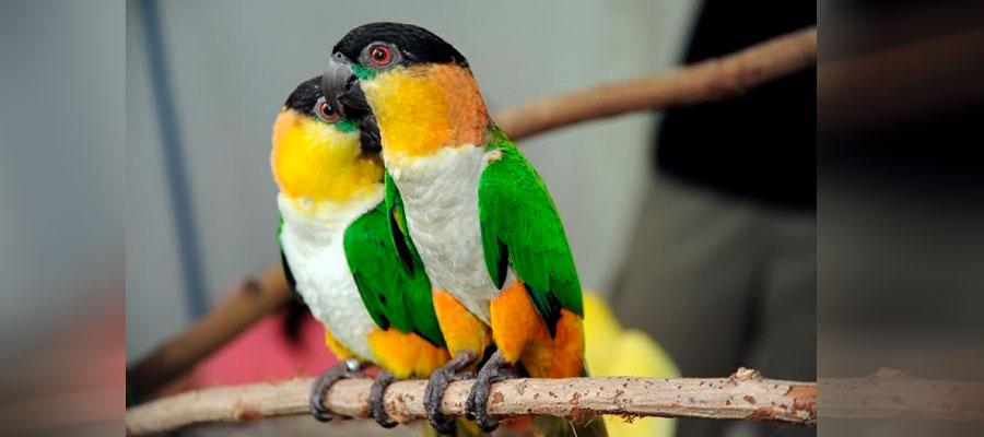 два черноголовых белобрюхих попугая