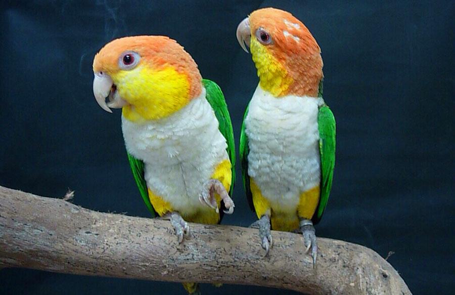 рыжеголовые белобрюхие попугаи