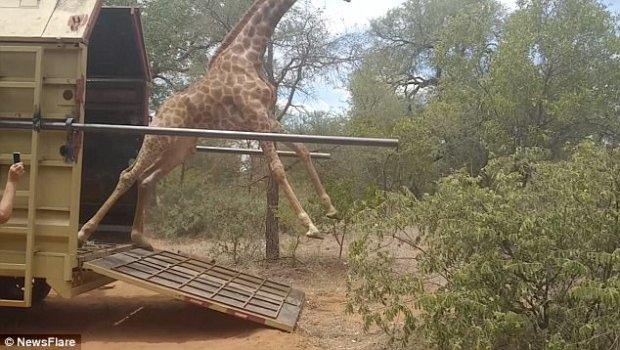 жираф,южная африка,воля