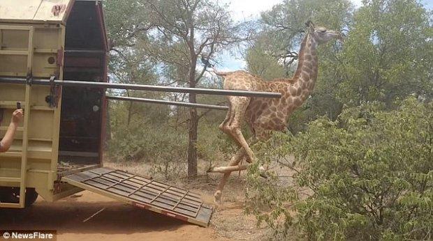 жираф,воля,африка