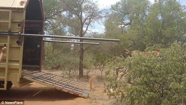 жираф,стойло,жирафик,Африка