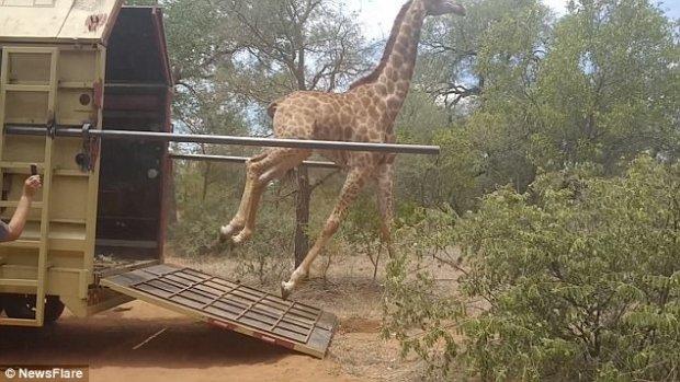 жираф,жирафик,стойло,природа