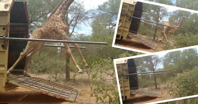 жираф,жирафик,природа,стойло