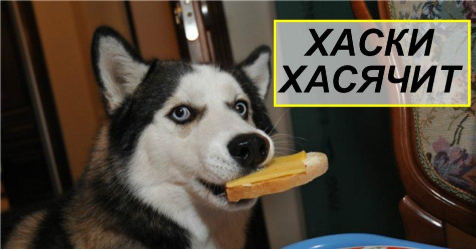 Хаски,собака,пес,ремонт,бутерброд,сыр,масло,питание,голубые глаза