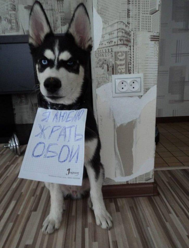 пес,хаски,ремонт,обои,прихожая,собака