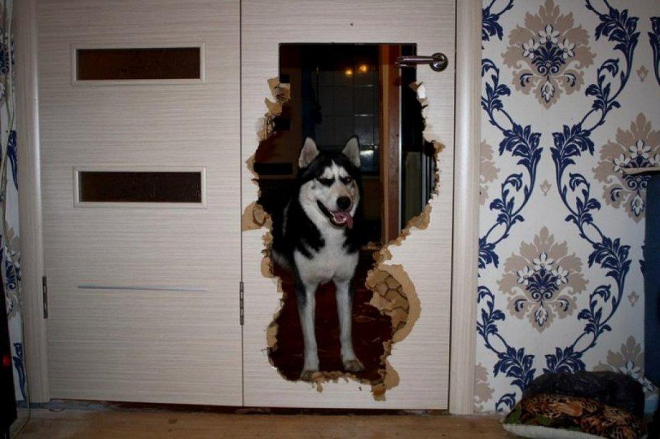 хаски,двери,ремонт,беспорядок,собака,пес