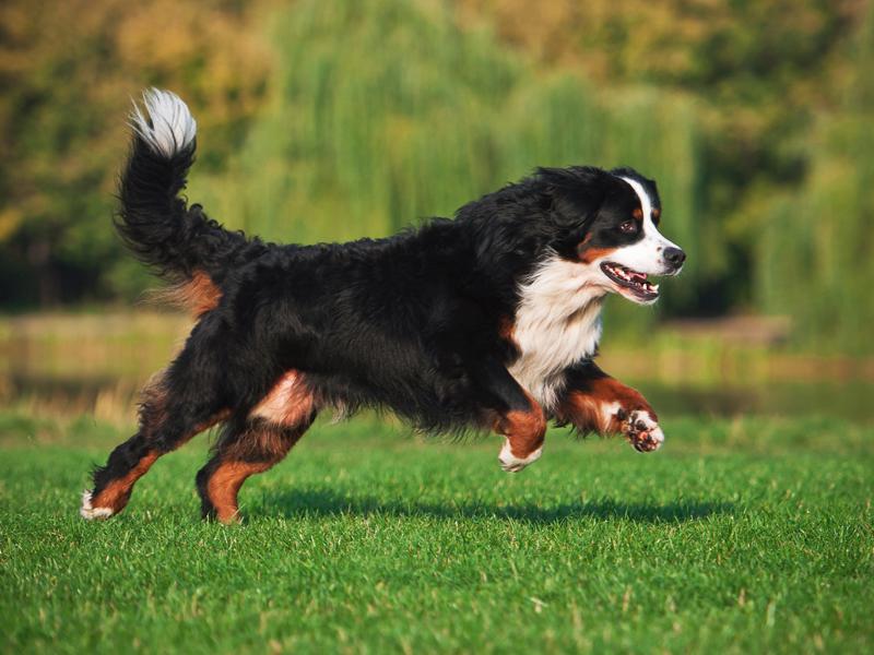 Бернский зенненхунд бежит фото